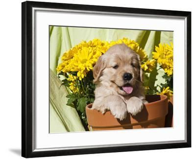 Golden Retriever Waiting at Obedience Competition-Zandria Muench Beraldo-Framed Photographic Print