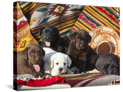 Five Labrador Retriever Puppies of All Colors on Southwestern Blankets-Zandria Muench Beraldo-Stretched Canvas Print