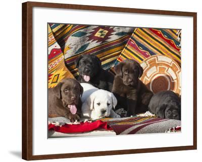 Five Labrador Retriever Puppies of All Colors on Southwestern Blankets-Zandria Muench Beraldo-Framed Photographic Print