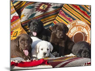 Five Labrador Retriever Puppies of All Colors on Southwestern Blankets-Zandria Muench Beraldo-Mounted Photographic Print