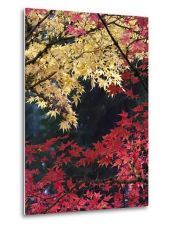Maple Trees, Portland Japanese Garden, Oregon, USA-William Sutton-Metal Print