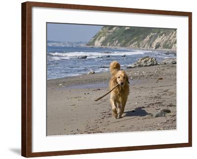 A Golden Retriever Walking with a Stick at Hendrey's Beach in Santa Barbara, California, USA-Zandria Muench Beraldo-Framed Photographic Print