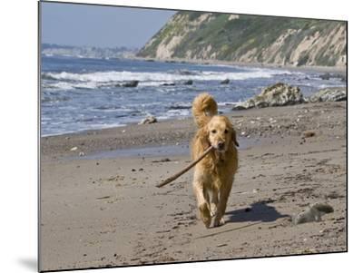 A Golden Retriever Walking with a Stick at Hendrey's Beach in Santa Barbara, California, USA-Zandria Muench Beraldo-Mounted Photographic Print
