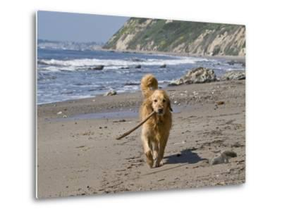 A Golden Retriever Walking with a Stick at Hendrey's Beach in Santa Barbara, California, USA-Zandria Muench Beraldo-Metal Print