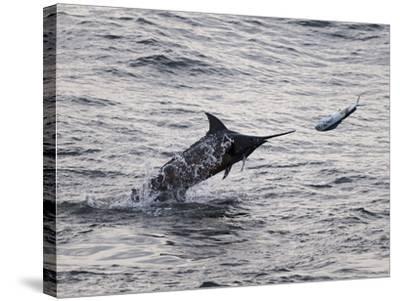 Blue Marlin (Makaira Nigricans) Hunting Dorado (Coryphaena Hippurus), Congo, Africa-Mick Baines & Maren Reichelt-Stretched Canvas Print