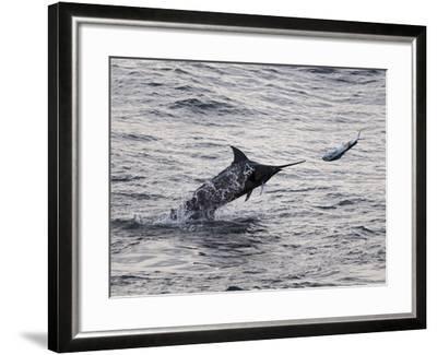 Blue Marlin (Makaira Nigricans) Hunting Dorado (Coryphaena Hippurus), Congo, Africa-Mick Baines & Maren Reichelt-Framed Photographic Print