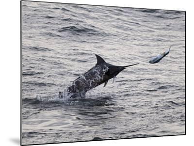Blue Marlin (Makaira Nigricans) Hunting Dorado (Coryphaena Hippurus), Congo, Africa-Mick Baines & Maren Reichelt-Mounted Photographic Print