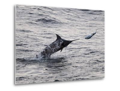 Blue Marlin (Makaira Nigricans) Hunting Dorado (Coryphaena Hippurus), Congo, Africa-Mick Baines & Maren Reichelt-Metal Print