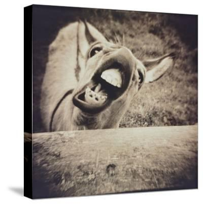 Bleating  Goat-Theo Westenberger-Stretched Canvas Print