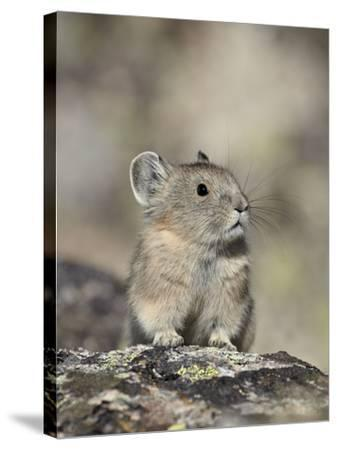 American Pika (Ochotona Princeps), Shoshone National Forest, Wyoming, USA, North America-James Hager-Stretched Canvas Print