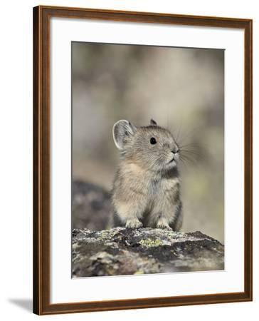 American Pika (Ochotona Princeps), Shoshone National Forest, Wyoming, USA, North America-James Hager-Framed Photographic Print