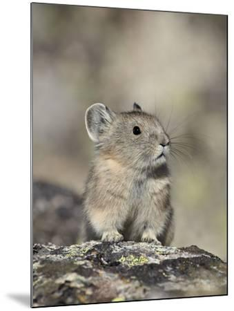 American Pika (Ochotona Princeps), Shoshone National Forest, Wyoming, USA, North America-James Hager-Mounted Photographic Print