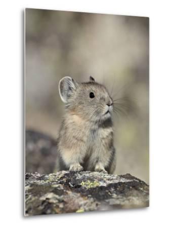 American Pika (Ochotona Princeps), Shoshone National Forest, Wyoming, USA, North America-James Hager-Metal Print