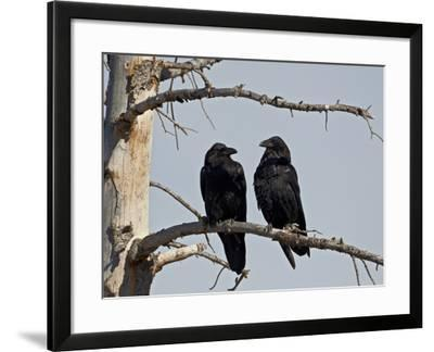 Common Raven (Corvus Corax) Pair, Yellowstone National Park, Wyoming, USA, North America-James Hager-Framed Photographic Print
