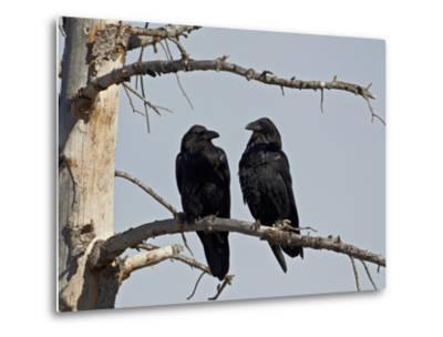 Common Raven (Corvus Corax) Pair, Yellowstone National Park, Wyoming, USA, North America-James Hager-Metal Print