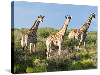 Giraffe (Giraffa Camelopardalis), Namibia, Africa-Nico Tondini-Stretched Canvas Print