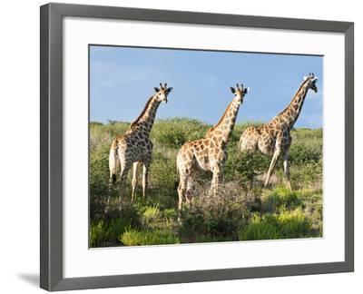 Giraffe (Giraffa Camelopardalis), Namibia, Africa-Nico Tondini-Framed Photographic Print