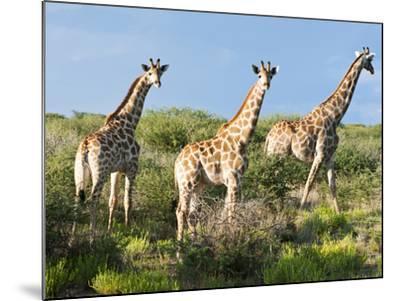 Giraffe (Giraffa Camelopardalis), Namibia, Africa-Nico Tondini-Mounted Photographic Print