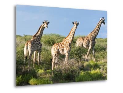 Giraffe (Giraffa Camelopardalis), Namibia, Africa-Nico Tondini-Metal Print