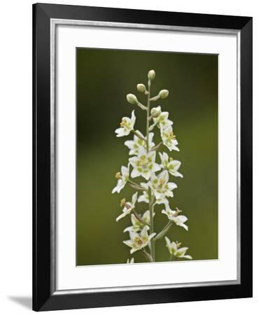 Mountain Death Camas (Zigadenus Elegans), Waterton Lakes Nat'l Park, Alberta, Canada-James Hager-Framed Photographic Print