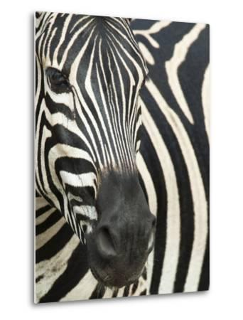 Burchell's (Plains) Zebra (Equus Burchelli), Mhkuze Game Reserve, Kwazulu Natal, South Africa-Ann & Steve Toon-Metal Print