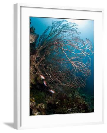 Reef Scene with Sea Fan, St. Lucia, West Indies, Caribbean, Central America-Lisa Collins-Framed Photographic Print