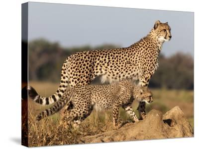 Cheetah with Cub (Acinonyx Jubatus), Phinda Private Game Reserve, Kwazulu Natal, South Africa-Ann & Steve Toon-Stretched Canvas Print