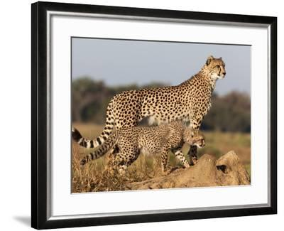 Cheetah with Cub (Acinonyx Jubatus), Phinda Private Game Reserve, Kwazulu Natal, South Africa-Ann & Steve Toon-Framed Photographic Print
