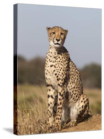 Cheetah Female (Acinonyx Jubatus), Phinda Private Game Reserve, Kwazulu Natal, South Africa, Africa-Ann & Steve Toon-Stretched Canvas Print