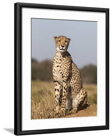 Cheetah Female (Acinonyx Jubatus), Phinda Private Game Reserve, Kwazulu Natal, South Africa, Africa-Ann & Steve Toon-Framed Photographic Print