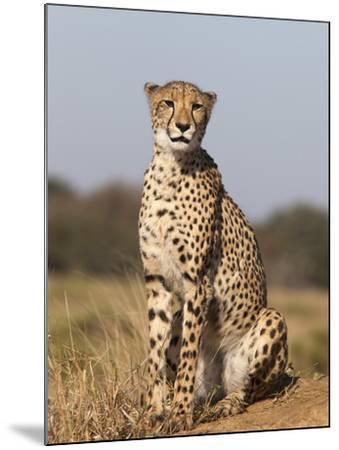 Cheetah Female (Acinonyx Jubatus), Phinda Private Game Reserve, Kwazulu Natal, South Africa, Africa-Ann & Steve Toon-Mounted Photographic Print