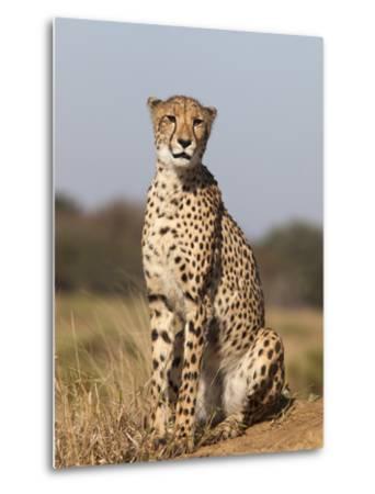 Cheetah Female (Acinonyx Jubatus), Phinda Private Game Reserve, Kwazulu Natal, South Africa, Africa-Ann & Steve Toon-Metal Print