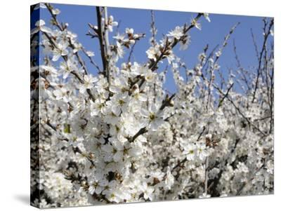 Blackthorn (Prunus Spinosa) in Full Flower, Cornwall, England, United Kingdom, Europe-Nick Upton-Stretched Canvas Print