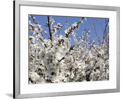 Blackthorn (Prunus Spinosa) in Full Flower, Cornwall, England, United Kingdom, Europe-Nick Upton-Framed Photographic Print