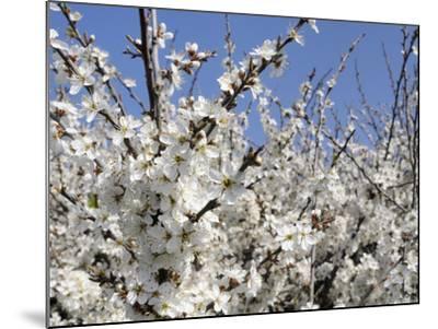 Blackthorn (Prunus Spinosa) in Full Flower, Cornwall, England, United Kingdom, Europe-Nick Upton-Mounted Photographic Print