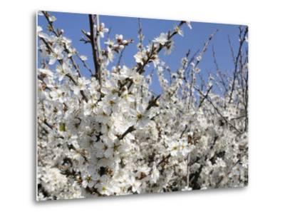Blackthorn (Prunus Spinosa) in Full Flower, Cornwall, England, United Kingdom, Europe-Nick Upton-Metal Print
