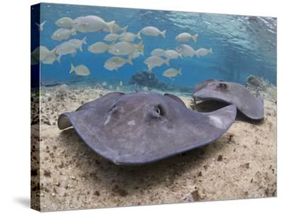 Stingray (Dasyatis Thetidis), Cozumel, Mexico, Caribbean, North America-Antonio Busiello-Stretched Canvas Print