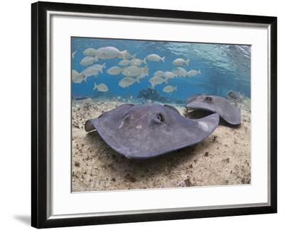 Stingray (Dasyatis Thetidis), Cozumel, Mexico, Caribbean, North America-Antonio Busiello-Framed Photographic Print