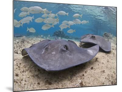 Stingray (Dasyatis Thetidis), Cozumel, Mexico, Caribbean, North America-Antonio Busiello-Mounted Photographic Print