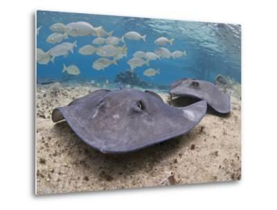 Stingray (Dasyatis Thetidis), Cozumel, Mexico, Caribbean, North America-Antonio Busiello-Metal Print
