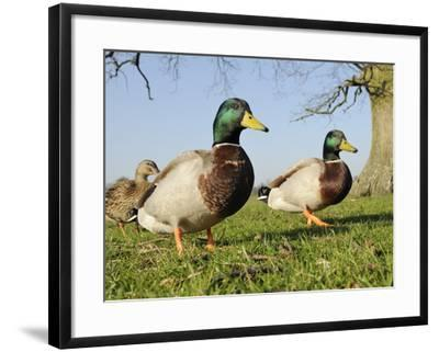 Two Mallard Drakes (Anas Platyrhynchos) and a Duck Approaching on Grass, Wiltshire, England, UK-Nick Upton-Framed Photographic Print
