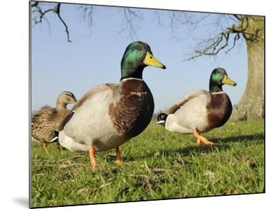 Two Mallard Drakes (Anas Platyrhynchos) and a Duck Approaching on Grass, Wiltshire, England, UK-Nick Upton-Mounted Photographic Print