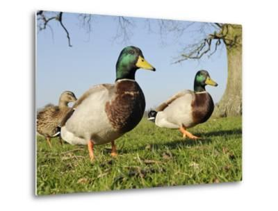 Two Mallard Drakes (Anas Platyrhynchos) and a Duck Approaching on Grass, Wiltshire, England, UK-Nick Upton-Metal Print