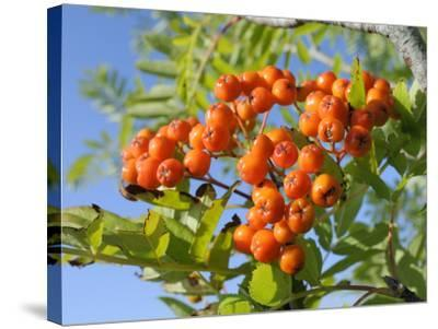 Rowan (Mountain Ash) (Sorbus Aucuparia) Berry Cluster, Wiltshire, England, United Kingdom, Europe-Nick Upton-Stretched Canvas Print