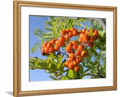 Rowan (Mountain Ash) (Sorbus Aucuparia) Berry Cluster, Wiltshire, England, United Kingdom, Europe-Nick Upton-Framed Photographic Print
