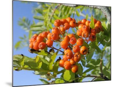 Rowan (Mountain Ash) (Sorbus Aucuparia) Berry Cluster, Wiltshire, England, United Kingdom, Europe-Nick Upton-Mounted Photographic Print