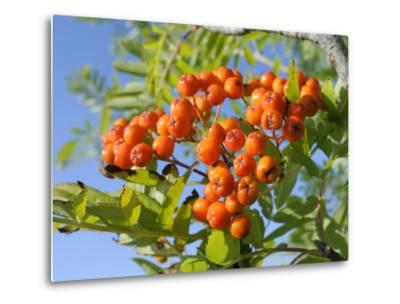 Rowan (Mountain Ash) (Sorbus Aucuparia) Berry Cluster, Wiltshire, England, United Kingdom, Europe-Nick Upton-Metal Print