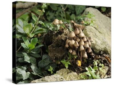 Granny's Bonnets Fungi (Mycena Inclinata) Growing from Rotten Treestump, Wiltshire, England-Nick Upton-Stretched Canvas Print