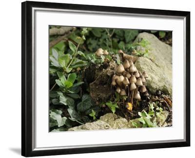 Granny's Bonnets Fungi (Mycena Inclinata) Growing from Rotten Treestump, Wiltshire, England-Nick Upton-Framed Photographic Print