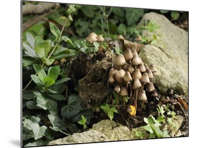 Granny's Bonnets Fungi (Mycena Inclinata) Growing from Rotten Treestump, Wiltshire, England-Nick Upton-Mounted Photographic Print